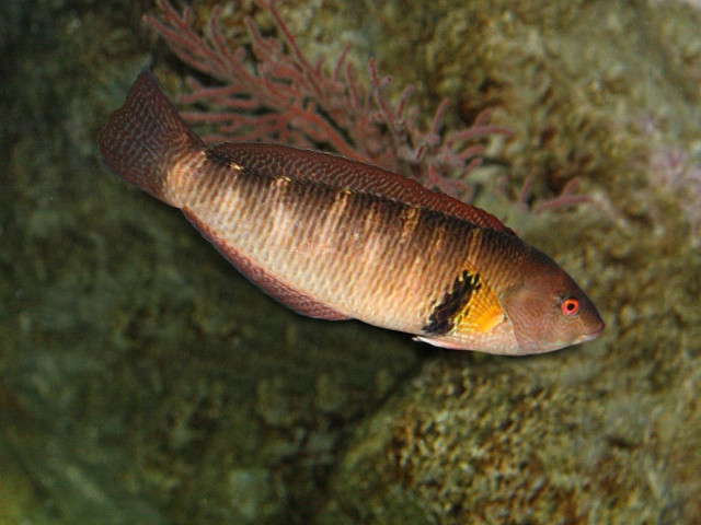 Rock Wrasse Male 3995256931_9e14b0f8ab_b