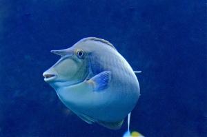 Bluespine Unicornfish  IMG_6756