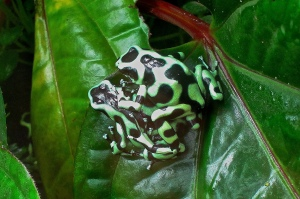 Green and black poison dart frog16461015440_7dab815173_k