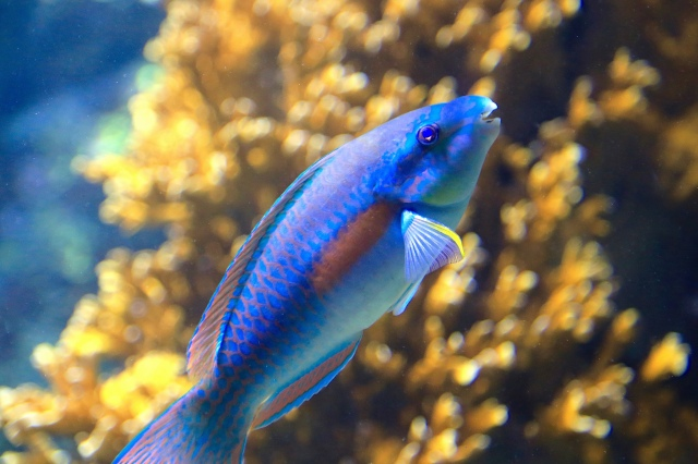 Striped Parrottfish19431680162_8165aba44c_k