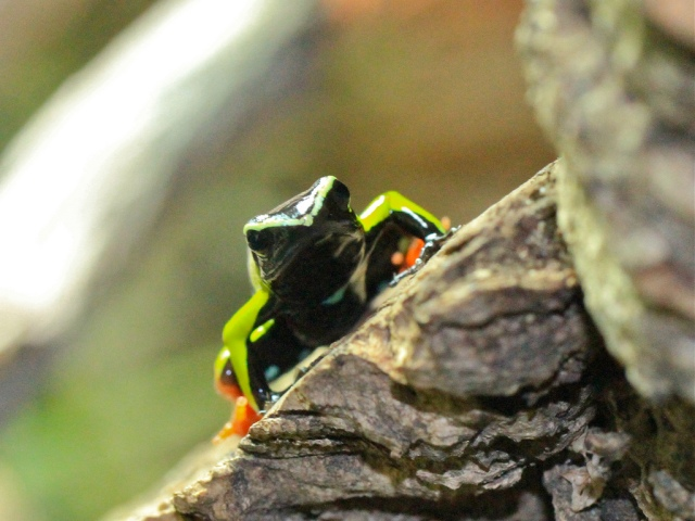 Painted Mantella