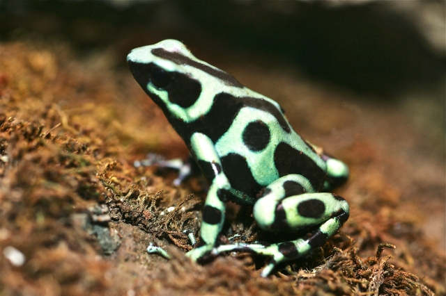 Green & Black Poison Dart Frog Dendrobates auratus (Dendrobatidae) 2