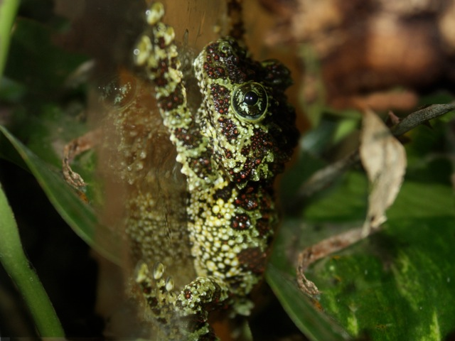 Vietnamese Mossy Frog Theloderma corticale (Rhacophoridae)