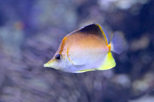 Caribbean Longnose Butterflyfish 8374253723_e84e62082c_o