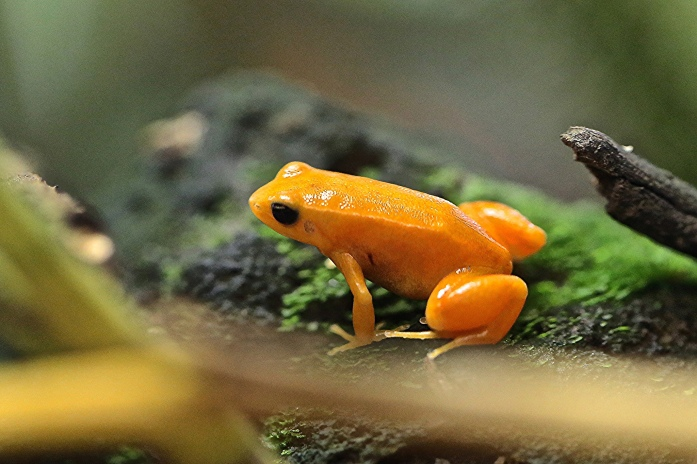 Golden Mantella Frog9130971576_83b4631fe8_k