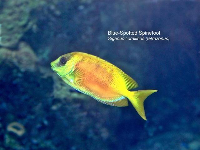 Blue-Spotted Spinefoot Siganus corallinus (tetrazonus)