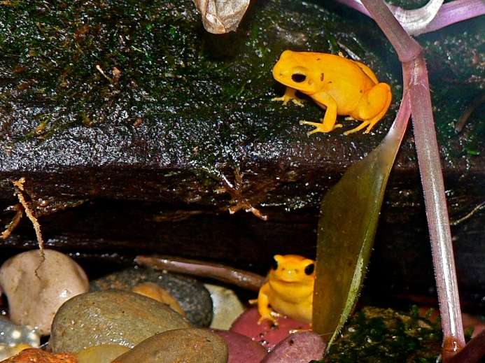 GOLDEN MANTELLA TREE FROG P1060198