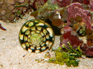 Marble Cone Snail  Conus marmoreus(Conidae)