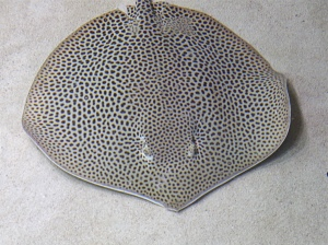 Honeycomb Stingray 3300566493_c6e0f406ba_b