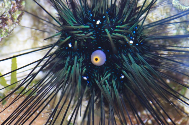 how to cook and eat sea urchins