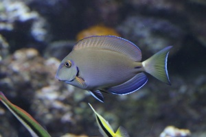 Ocean Surgeonfish IMG_5546