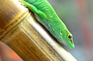Madagascar Giant DayGecko