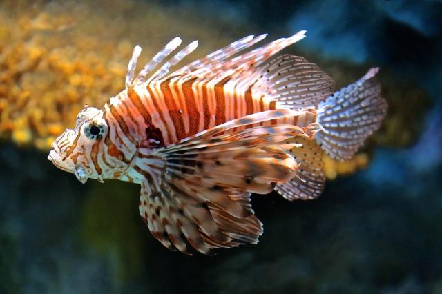 Red Lionfish 8512498521_e37450498e_b