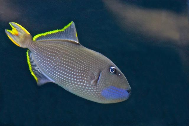 Bluechin Triggerfish aka Gilded Triggerfish (male) Xanthichthys auromarginatus (Balistidae)TriggerfishesIMG_1613