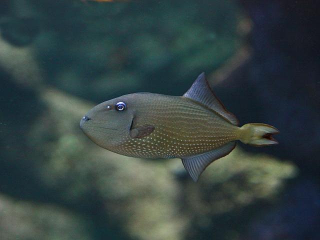 Gilded Triggerfish (female) Xanthichthys auromarginatus _2