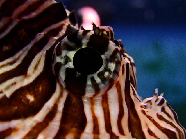 Red Lionfish IMG_0299