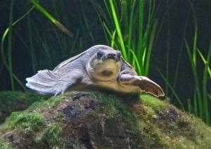 pignose-turtle-aka-fly-river-turtle- IMG_0316