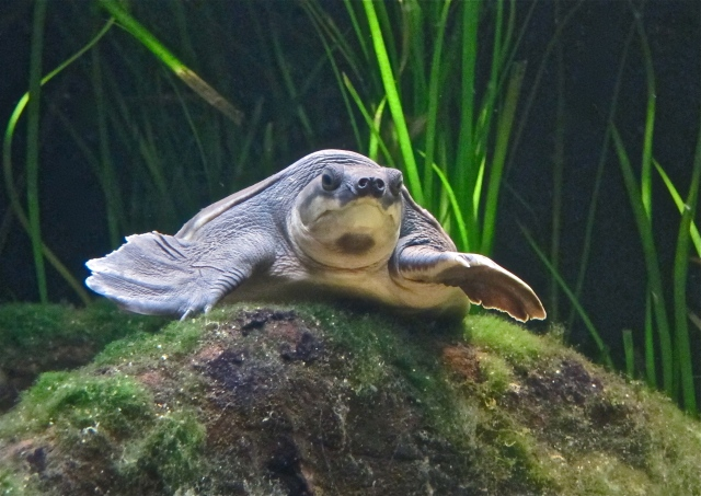 pignose-turtle-aka-fly-river-turtle- IMG_0316