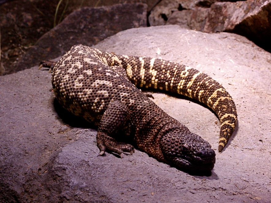 Mexican Beaded Lizard IMG_0335