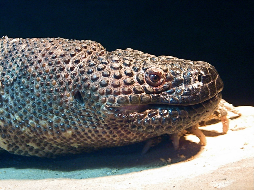 Mexican Beaded Lizard IMG_1679