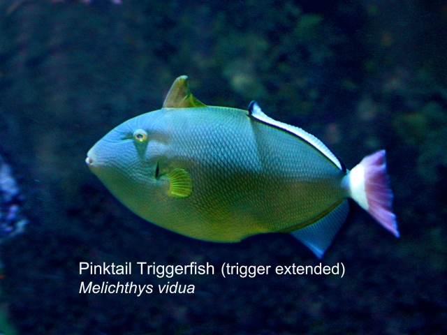 PinkTail Triggerfish Erect trigger IMG_0863 copy