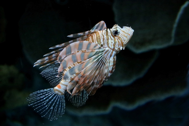 Red Lionfish 8355039924_e28c66a7be_b