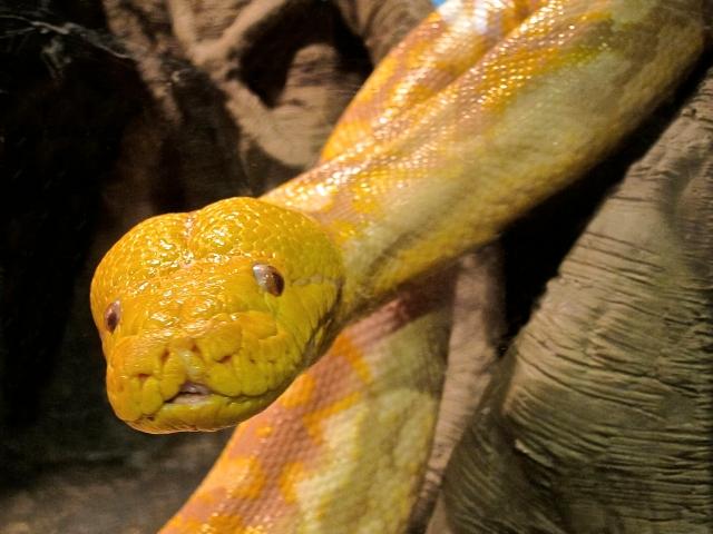 Albino Reticulated Python,  Python reticulatus  IMG_0184
