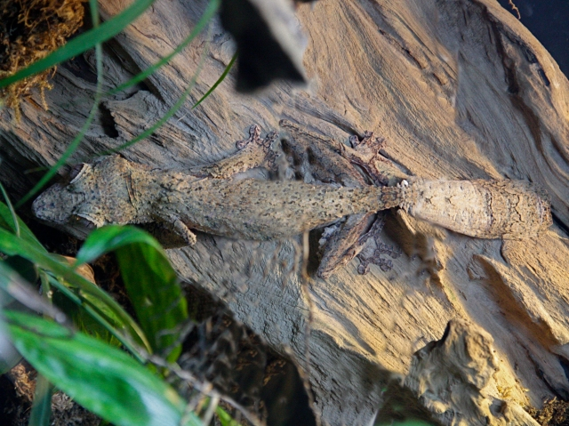 Henkel's leaf-tailed  Gecko  Uroplatus henkeli IMG_0394