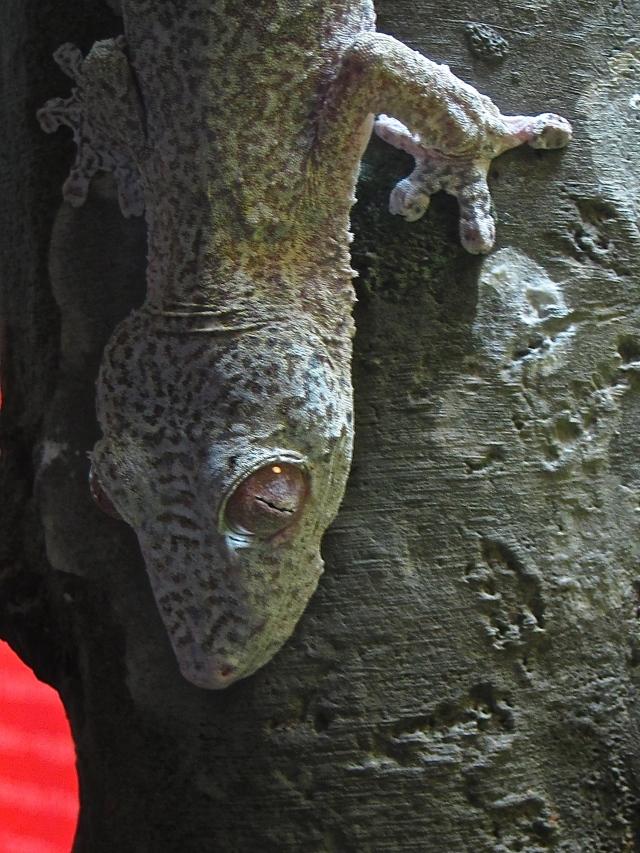 Henkel's Leaf-tailed Gecko IMG_0742