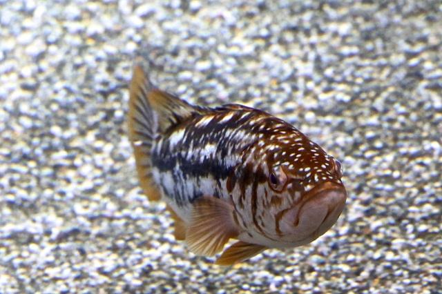 Kelp Bass IMG_4002