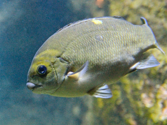 Opaleye Perch 4566438661_569907b825_b