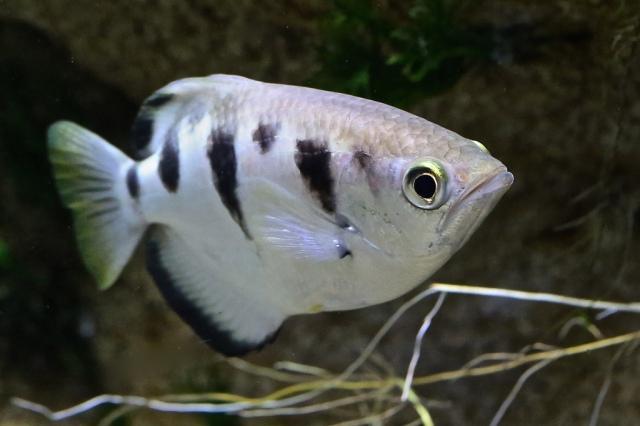 Banded Archerfish 8393611643_5ce29954b5_b