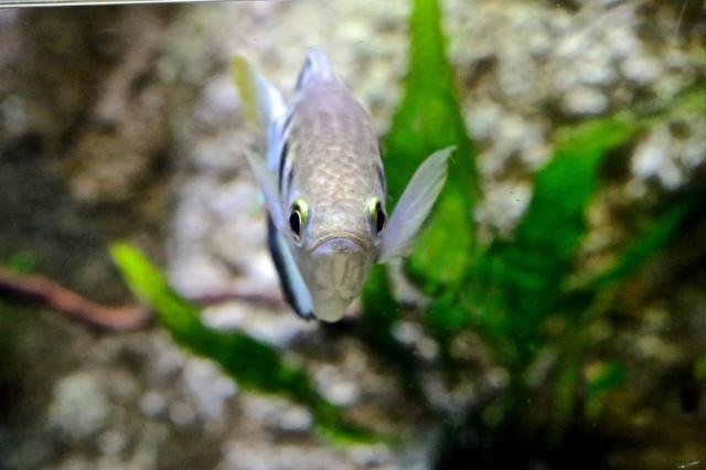 Banded Archerfish 8412951528_42ec8b3dd2_b