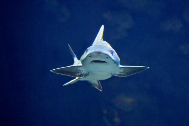 Leopard Shark 8415453774_b665c7a08e_o