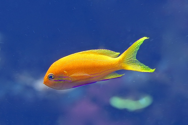 Scalefin Anthias aka Lyretail Fairy Basslet (female) 9830744184_8184c027fd_k