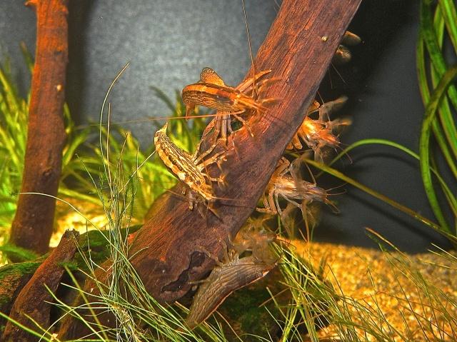Bamboo Shrimp IMG_0285