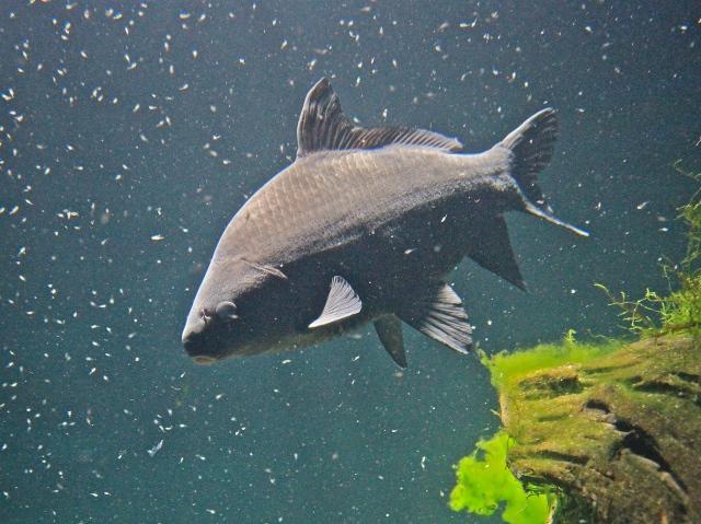 6 17 13 smallmouth buffalofishfrom ron s north american for Freshwater sucker fish
