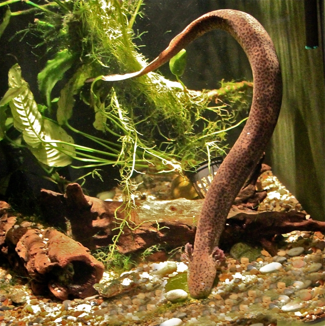 Lesser Siren aka Mud Siren Siren intermedia (Sirenidae)  IMG_3147