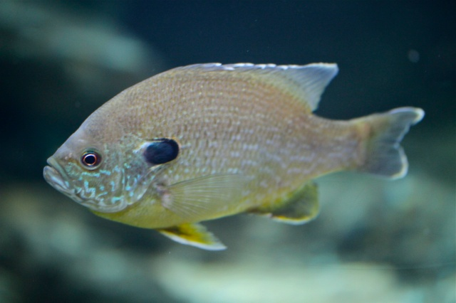 Fresh water fishes of north america ron 39 s critter of the day for Sun perch fish