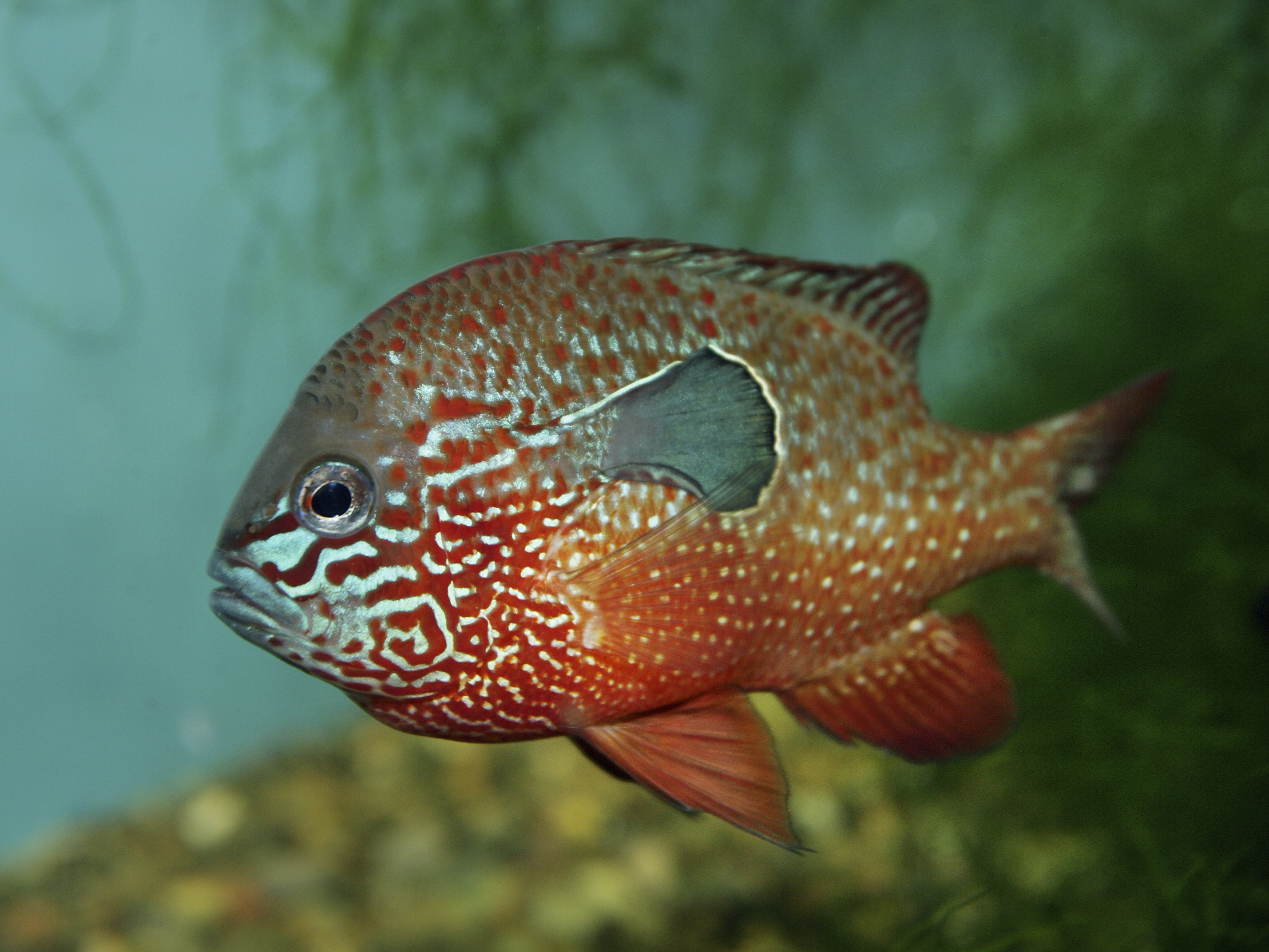 Freshwater sunfish images galleries for Freshwater fishing games