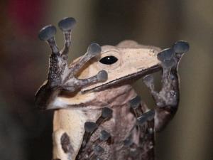 Reinwardt's flying frog (Rhacophorus reinwardtii)MG_0098_2