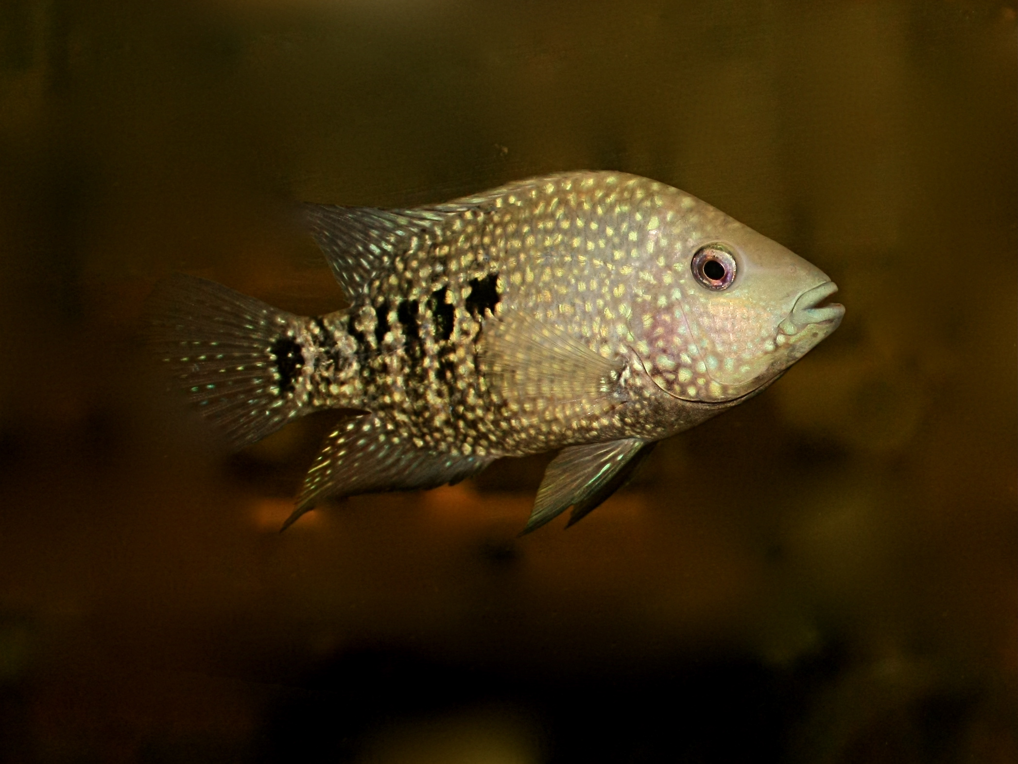 7 8 13 texas cichlid aka rio grande cichlid from ron s for Texas freshwater fish