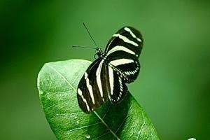Zebra Longwing3001506444_c542946e64_b
