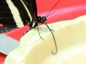 Postman butterfly 3128914991_1200b58be7_o