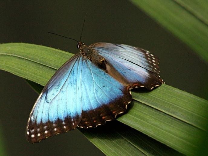 Blue Morpho 3175390675_70bdc9fe60_o