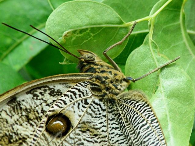 Giant Owl Butterfly 3175391673_2e6880dc85_b