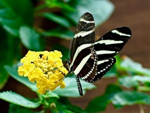 Zebra Longwing3259463506_6b220081ae_o 2
