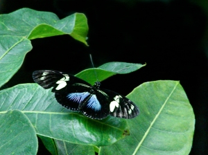 Doris Longwing (blue morph)  3267097210_300ac83016_o
