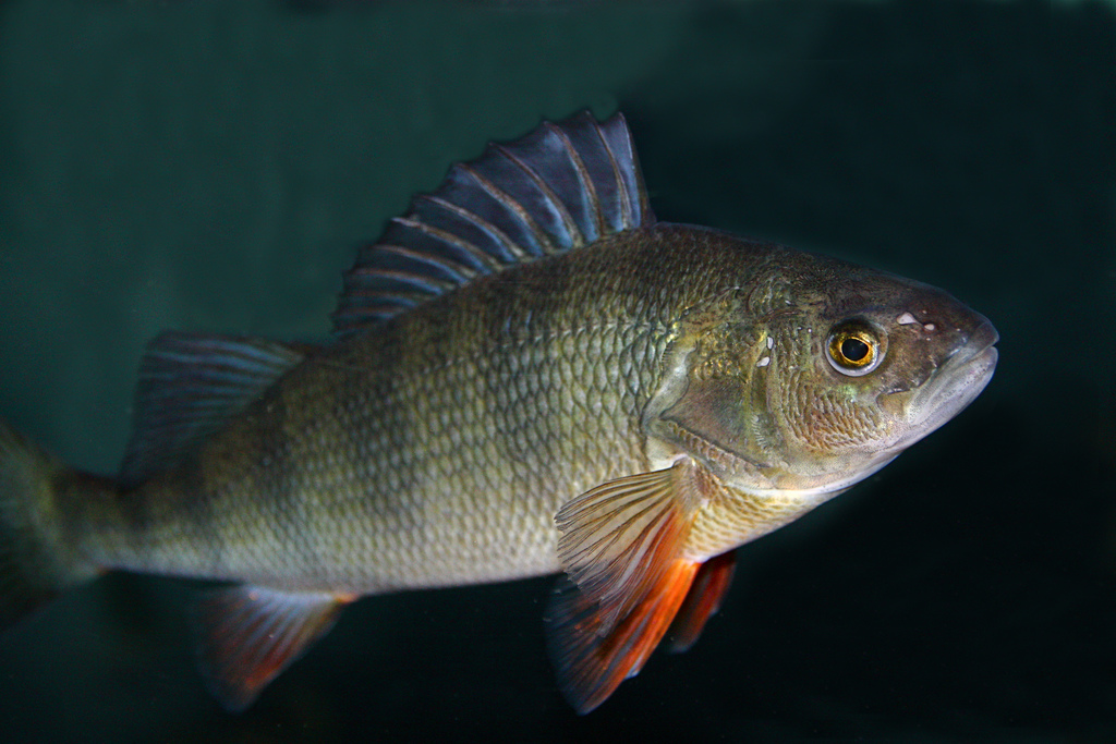7 9 13 yellow perch from ron s north american freshwater for North american freshwater fish