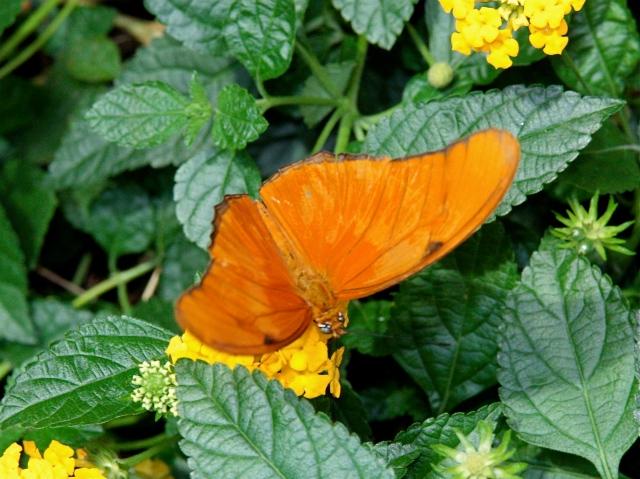 Julia Longwingbutterfly Male 3506886372_2a38133601_o